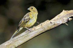 Site-geelgors-jonge-vogel-001