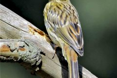Site-geelgors-jonge-vogel-003