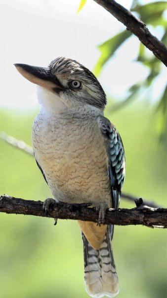 Blauwvleugel-kookaburra.-2020-07-27-001