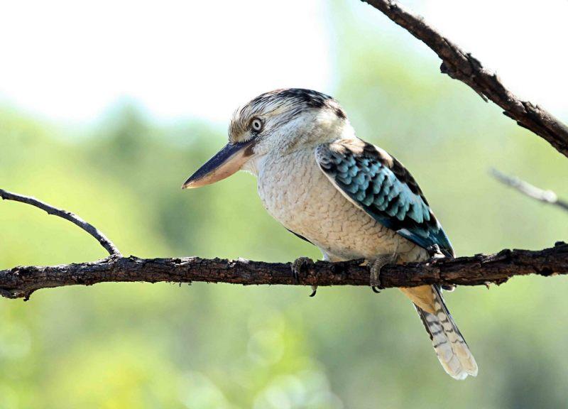Blauwvleugel-kookaburra.-2020-07-27-003