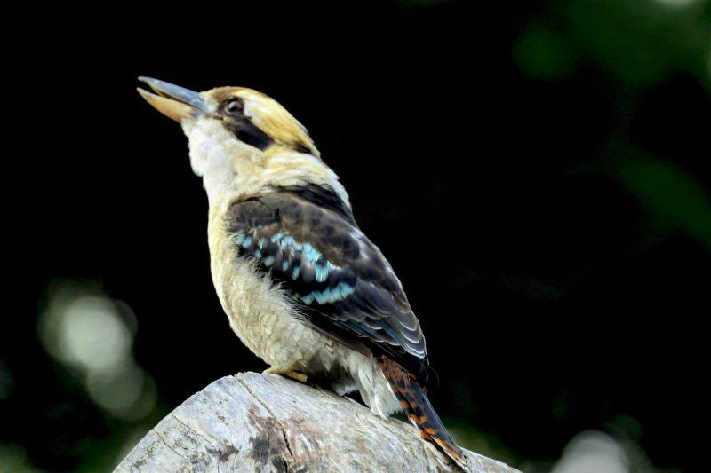 Kookaburra.-002
