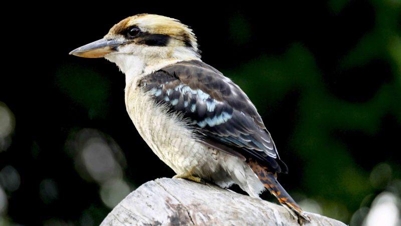 Kookaburra.-003