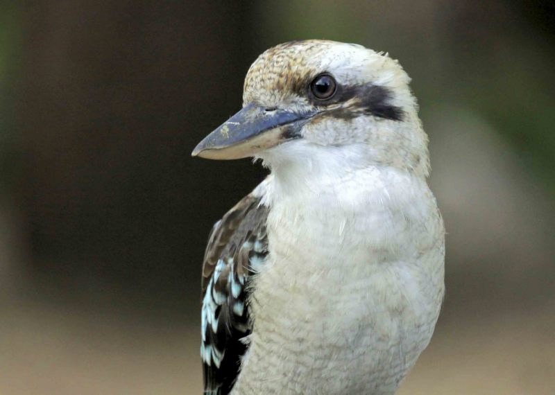 Kookaburra.-004