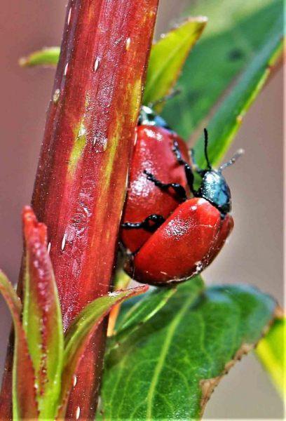 Haantjes.-Chrysomela-populi.-Populierenhaantje.-Foto-©-Danny-Roels.-002