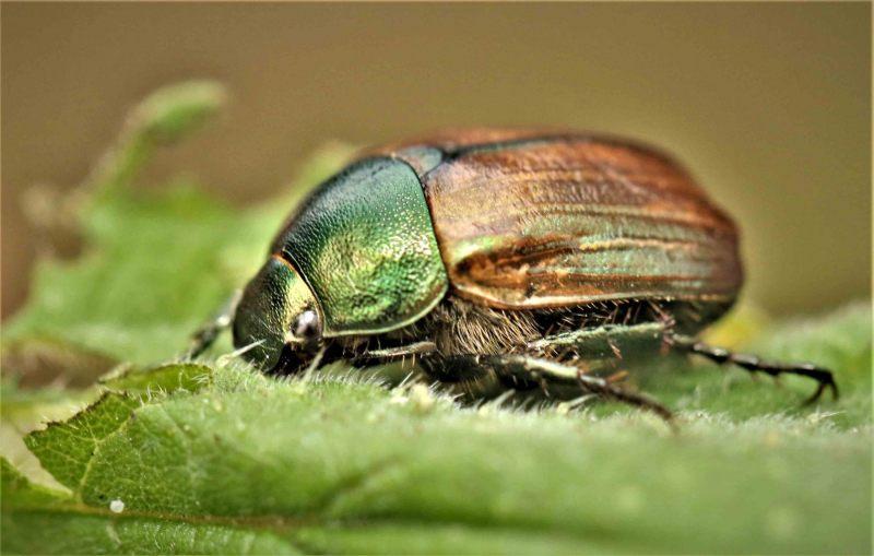 Kevers.-Phyllopertha-horticola.-Rozenkever.-Foto-©-Danny-Roels.-001