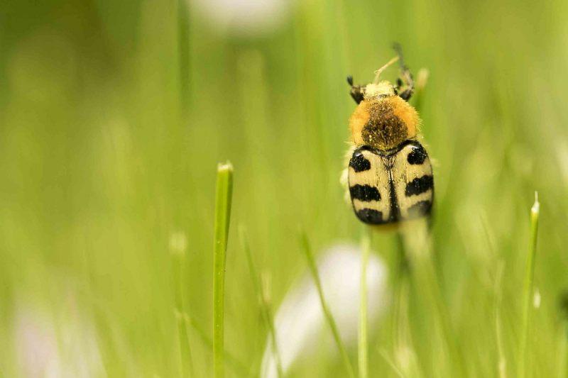 Kevers.-Trichius-fasciatus.-Penseelkever.-Foto-©-Danny-Roels.-002