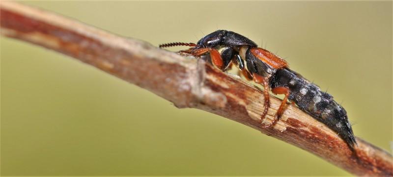 Kortschildkevers.-Platydracus-stercorarius.-Kortschildkever.-Foto-©-Danny-Roels.-001