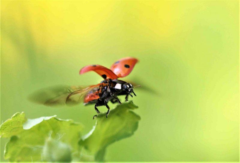 OLV-beestjes.-Coccinella-septempunctata.-Zevenstippelig-onzelieveheersbeestje.-Foto-©-Danny-Roels.-001