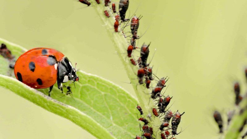 OLV-beestjes.-Coccinella-septempunctata.-Zevenstippelig-onzelieveheersbeestje.-Foto-©-Danny-Roels.-002