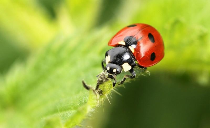OLV-beestjes.-Coccinella-septempunctata.-Zevenstippelig-onzelieveheersbeestje.-Foto-©-Danny-Roels.-003