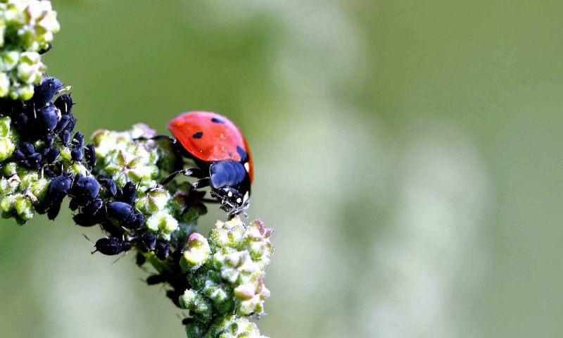 OLV-beestjes.-Coccinella-septempunctata.-Zevenstippelig-onzelieveheersbeestje.-Foto-©-Danny-Roels.-004