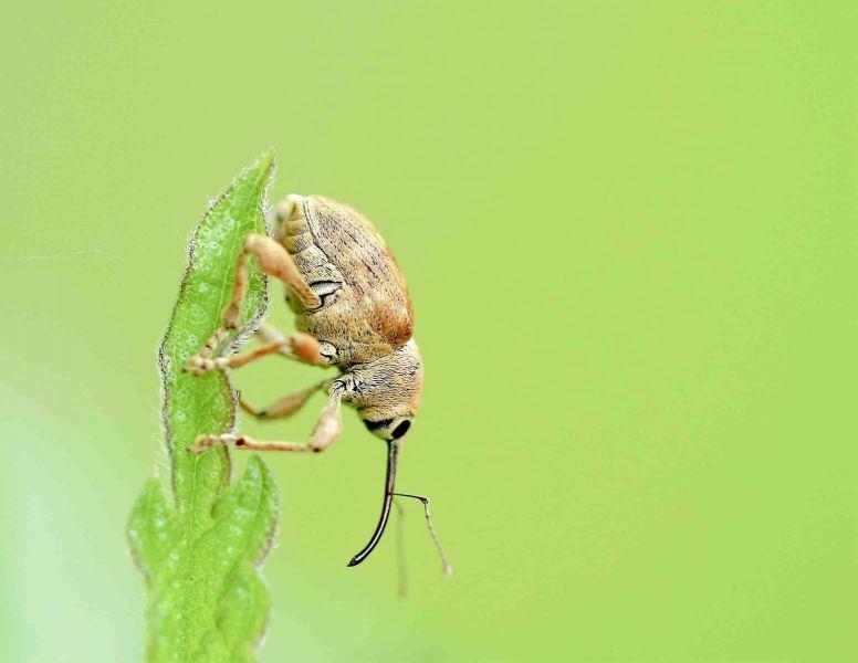 Snuitkevers.-Curculio-nucum.-Hazelnootboorder.-Foto-©-Danny-Roels.-001