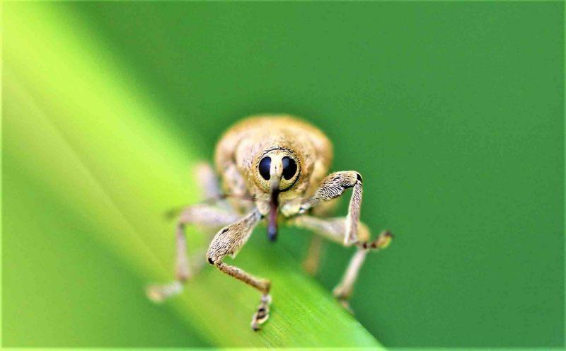 Snuitkevers.-Curculio-nucum.-Hazelnootboorder.-Foto-©-Danny-Roels.-002