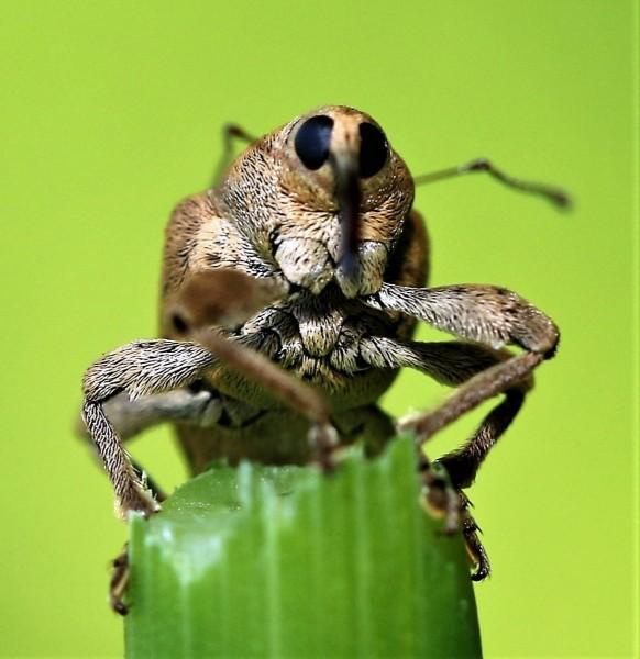 Snuitkevers.-Curculio-nucum.-Hazelnootboorder.-Foto-©-Danny-Roels.-003
