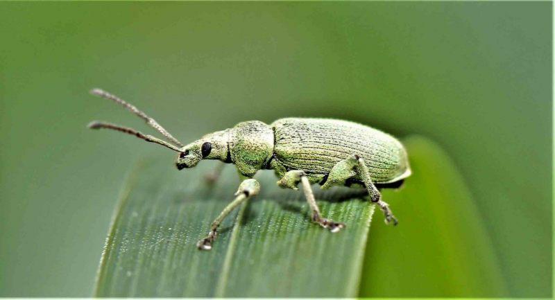 Snuitkevers.-Phyllobius-pomaceus.-Groene-bladsnuitkever.-Foto-©-Danny-Roels.-002