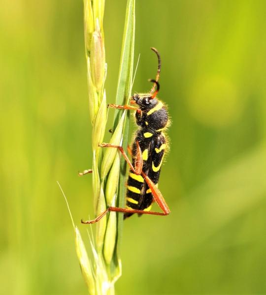 Torren.-Clytus-arietis.-Kleine-wespenboktor.-Foto-©-Danny-Roels.-001