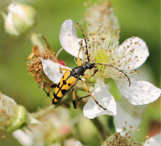 Torren.-Rutpela-maculata.-Geringelde-smalboktor.-Foto-©-Danny-Roels.-001