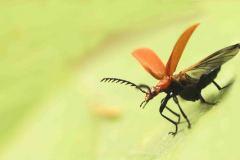 Kevers.-Pyrochroa-serraticornis.-Roodkop-vuurweker.-Foto-©-Danny-Roels.-001