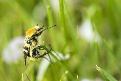 Kevers.-Trichius-fasciatus.-Penseelkever.-Foto-©-Danny-Roels.-001