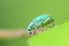Snuitkevers.-Phyllobius-pomaceus.-Groene-bladsnuitkever.-Foto-©-Danny-Roels.-003