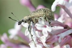 Snuitkevers.-Strophosoma-capitatum.-Grauwbruine-dennensnuitkever.-Foto-©-Danny-Roels-001