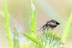 Snuitkevers.-Strophosoma-capitatum.-Grauwbruine-dennensnuitkever.-Foto-©-Danny-Roels-002