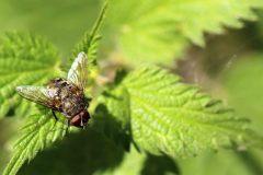 Vliegen.-Calliphoridae-pollenia.-Bromvlieg.-Foto-©-Danny-Roels.-001
