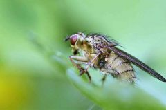 Vliegen.-Scathophaga-stercoraria.-Strontvlieg.-Foto-©-Danny-Roels.-004