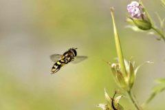 Zweefvliegen.-Eupeodes-corollae.-Kommazweefvlieg.-foto-©-Danny-Roels.-003