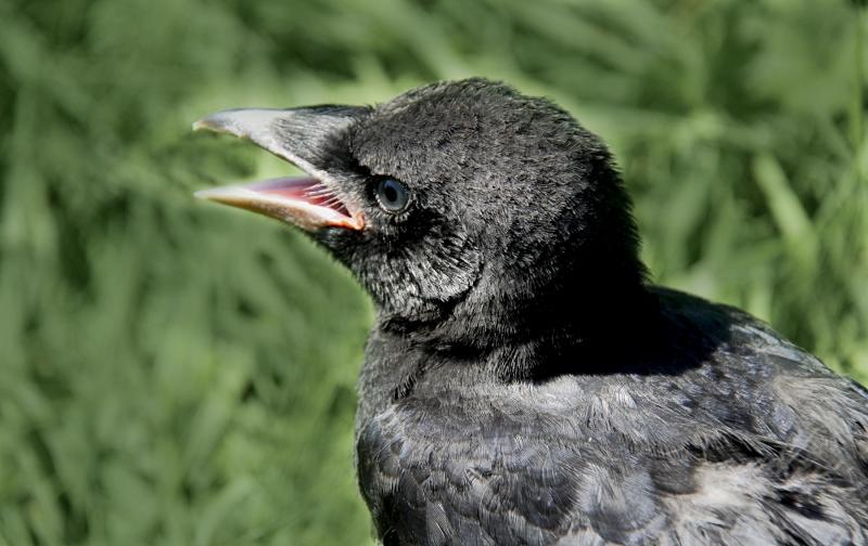 001-zwarte-kraai-jonge-vogel-003