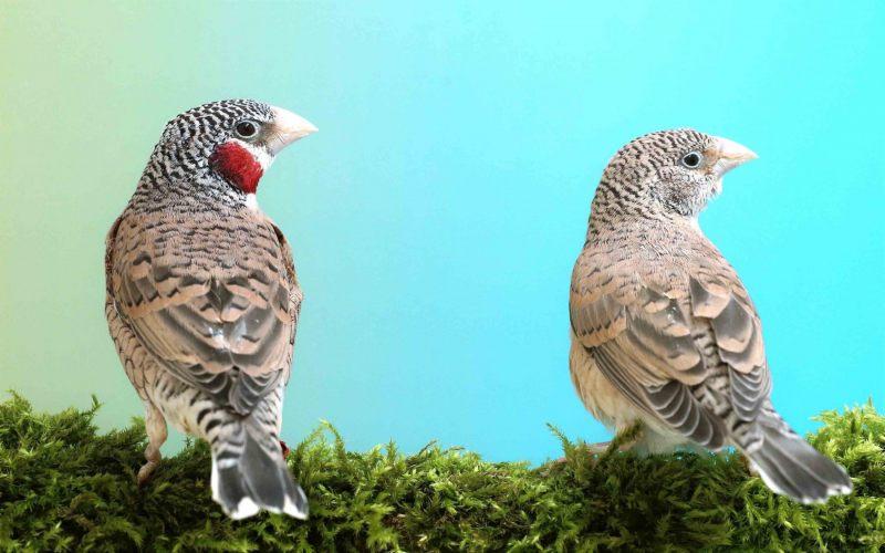 Bandvink [Amadina fasciata]. Koppel. 2020-07-23-001