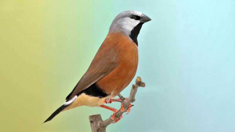 Gordelgrasvink [Poephila cincta]. 2020-07-23-001