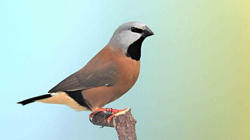 Gordelgrasvink [Poephila cincta]. 2020-07-23-002
