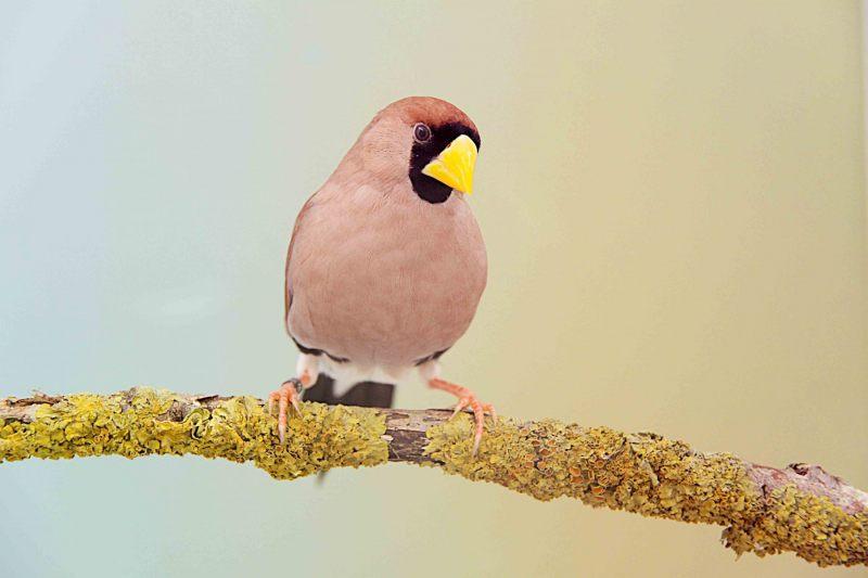 Maskeramadine [Poephila personata]. 2020-07-23-001