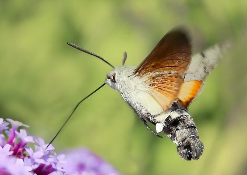 Kolibrievlinder. 2020-07-11-001