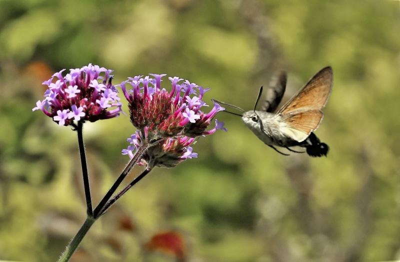 Kolibrievlinder. 2020-07-11-002