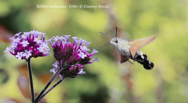 Kolibrievlinder. 2020-07-11-005