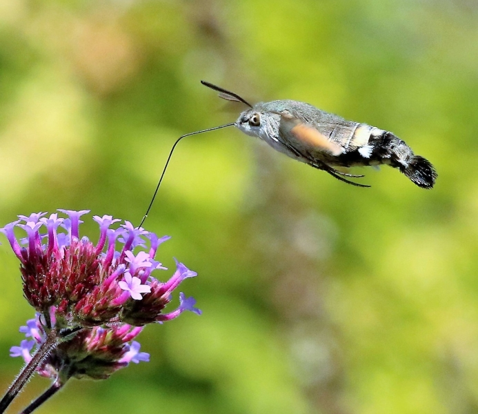 Kolibrievlinder. 2020-07-11-006