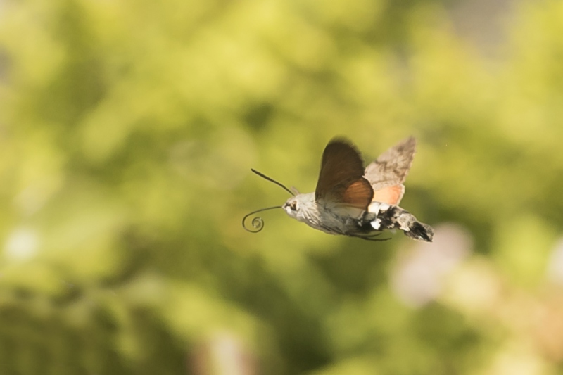 Kolibrievlinder. 2020-07-11-007