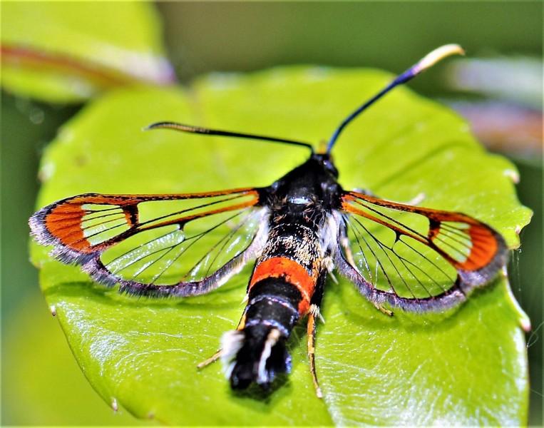 Wilgenwespvlinder. 2020-07-11-001