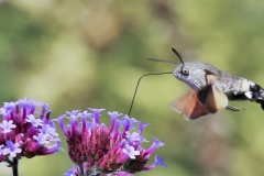 Kolibrievlinder. 2020-07-11-003