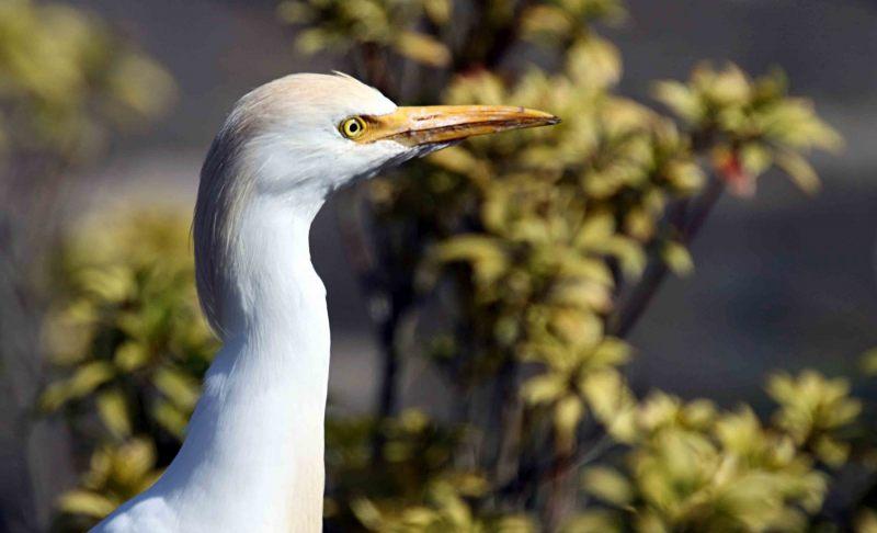 Bubulcus-ibis.-Koeriger.-2020-07-15-001