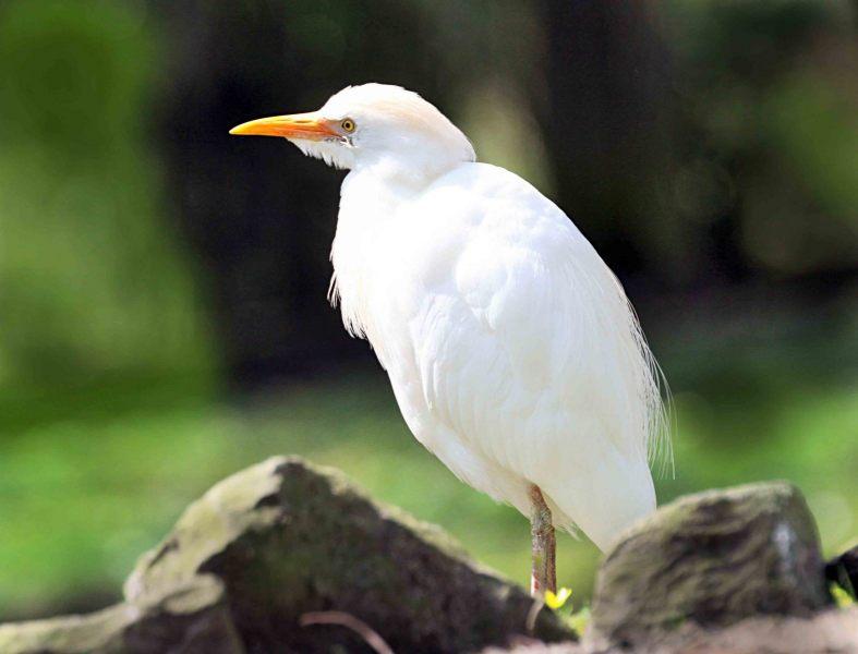Bubulcus-ibis.-Koeriger.-2020-07-15-002
