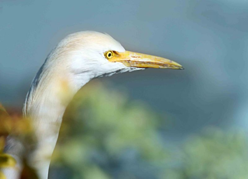 Bubulcus-ibis.-Koeriger.-2020-07-15-003