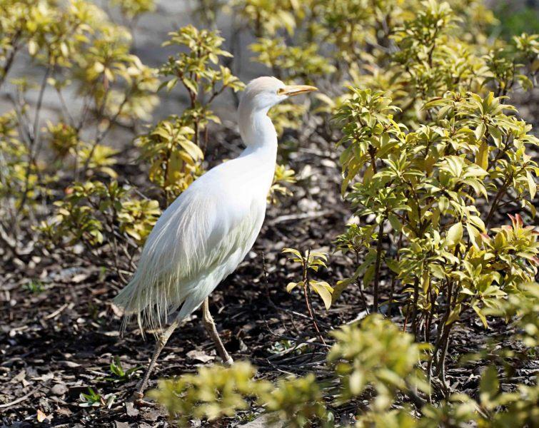 Bubulcus-ibis.-Koeriger.-2020-07-15-004