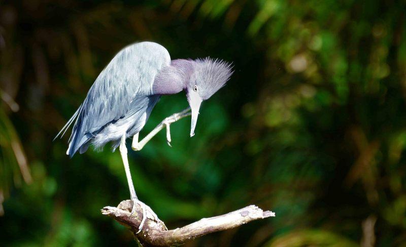 Egretta-caerulea.-Kleine-blauwe-reiger.-2020-07-15-001