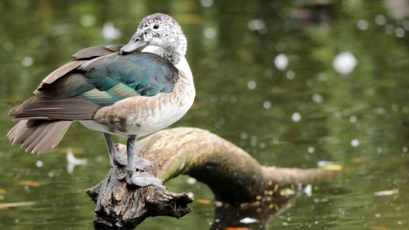 Sarkidiornis-melanotos.-Pronkeend.-Vrouw.-2020-07-16-001