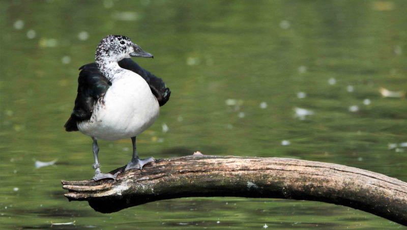 Sarkidiornis-melanotos.-Pronkeend.-Woerd.-2020-07-16-002