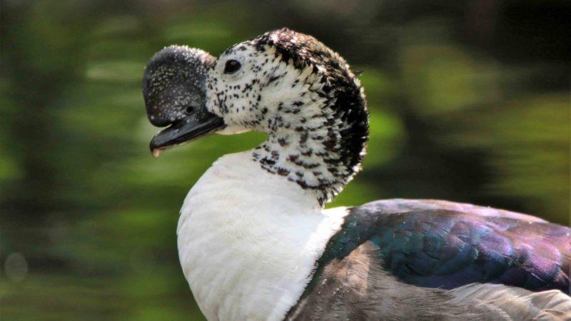 Sarkidiornis-melanotos.-Pronkeend.-Woerd.-2020-07-16-003