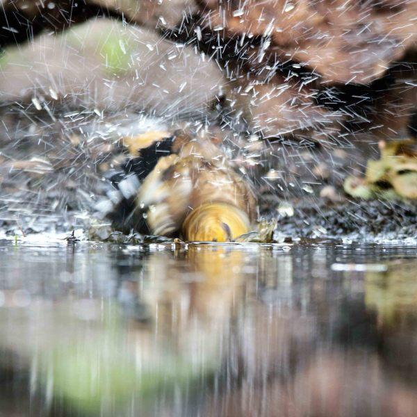 Appelvink [Coccothraustes coccothraustes]. Jonge vogel. 2020-07-22-003